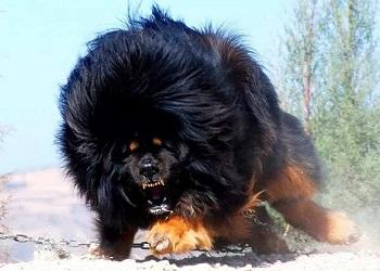 Dogo del Tibet de color negro