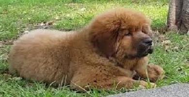 Raza de perro Dogo del Tíbet