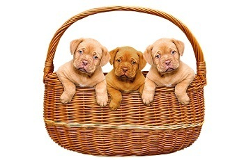 Cómo saber si la raza de perro Dogo de Burdeos es original o puro