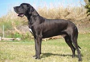 Raza de perro dogo alemán de color negro