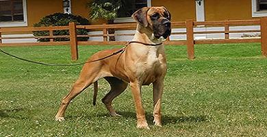 Raza de perro Dogo Alemán