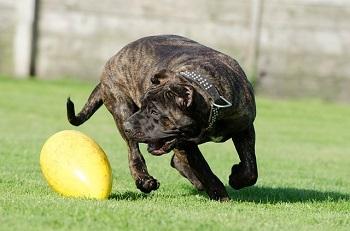 dogo canario perro gigante
