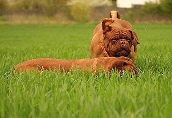 2 Dogos de Burdeos en un césped