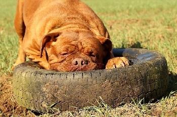 Dogo de Burdeos en una rueda durmiendo