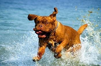 Cómo es el Dogo de Burdeos, dentro del agua