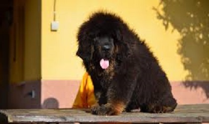 perro Dogo del Tibet gigante de color negro