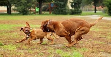Enfermedades de la raza de perro Dogo de Burdeos