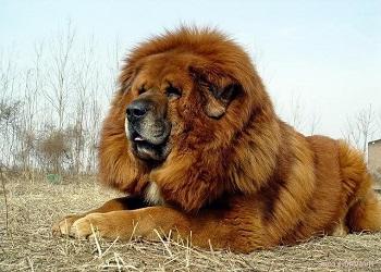 Raza de perro Dogo del Tíbet temperamento