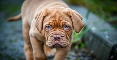 Cómo saber si es una raza de perro Dogo de Burdeos original o puro
