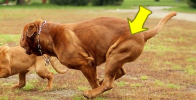 Displasia de cadera en perros, síntomas y tratamientos