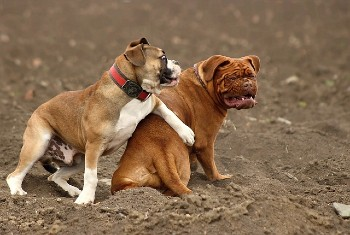 tatamiento displasia de cadera en perros
